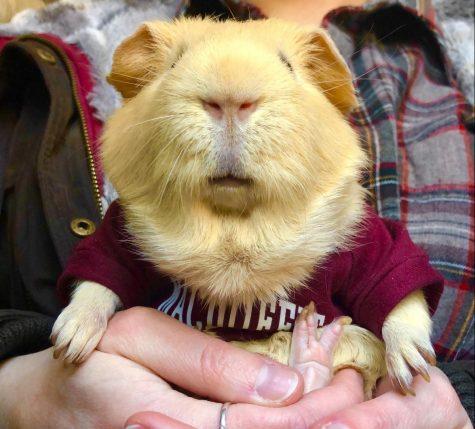 Potato, Ms. Putnams guinea pig, showing his MacDuffie spirit! Photo provided by Amanda Putnam